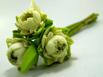 lotus klein